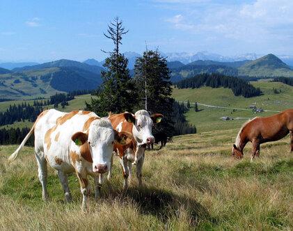Kühe auf der Postalm, (c) WTG